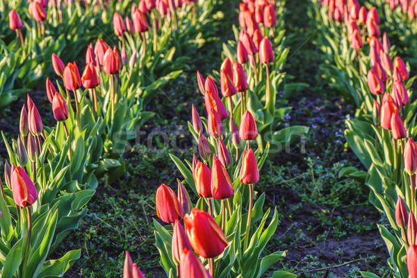 Tulipes champ de fleurs rouge coucher du soleil village herbe Photo stock © frimufilms