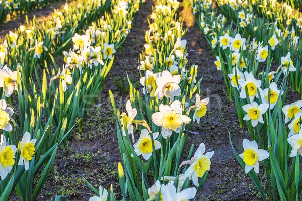 Sarı nergis çiçek çiçek alan gün batımı köy Stok fotoğraf © frimufilms