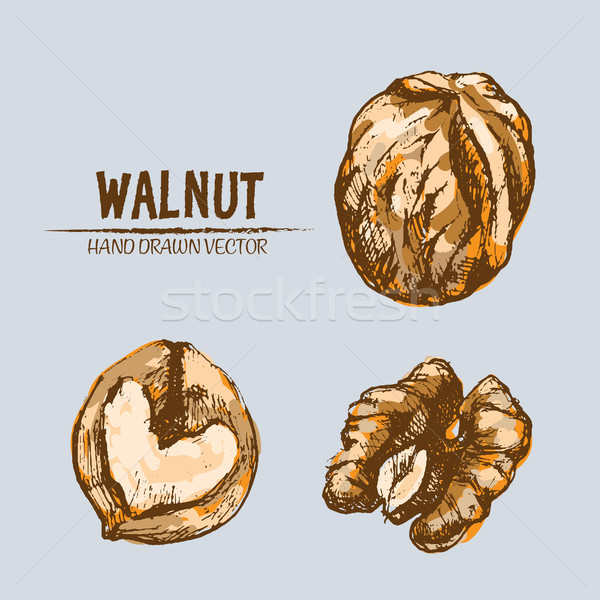 Digital vector detailed walnut hand drawn Stock photo © frimufilms