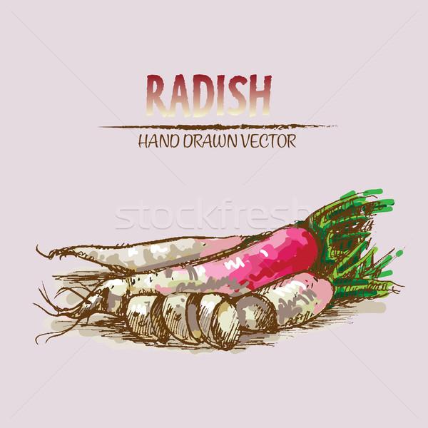 Digital vector detailed line art radish Stock photo © frimufilms