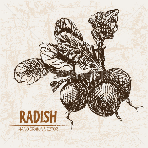 Digital vector detailed line art radish vegetable Stock photo © frimufilms