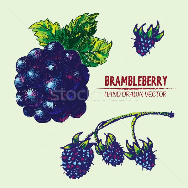 Digital vector detailed color brambleberry Stock photo © frimufilms