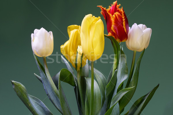 Red, white and yellow tulips Stock photo © frimufilms