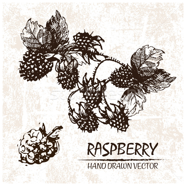 Digital vector detailed raspberry hand drawn Stock photo © frimufilms
