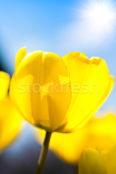 Tulips Stock photo © froxx