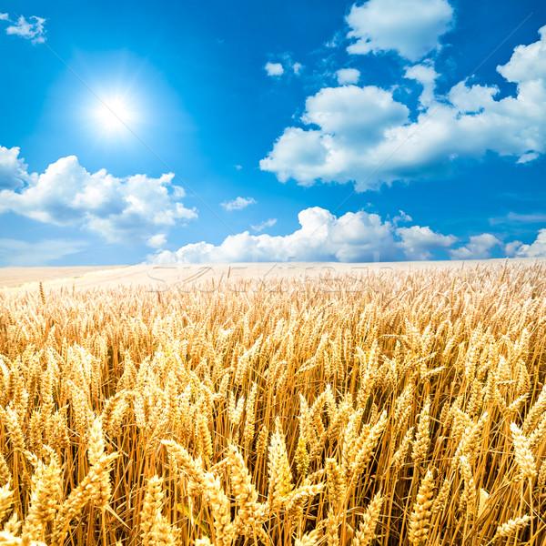 Kukoricamező kukorica mező kék ég felhők nap Stock fotó © froxx