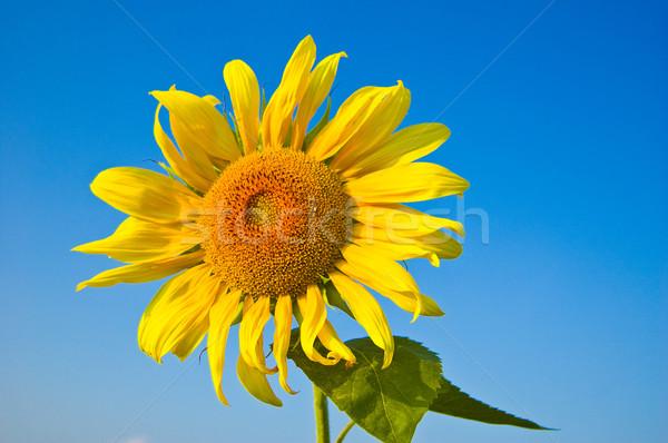 Sunflower Stock photo © froxx