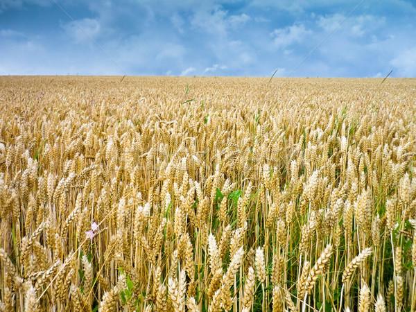 Campo di grano grano orecchie cielo blu cielo nubi Foto d'archivio © froxx