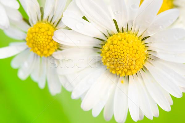 Daisy primo piano view margherite primavera bellezza Foto d'archivio © froxx