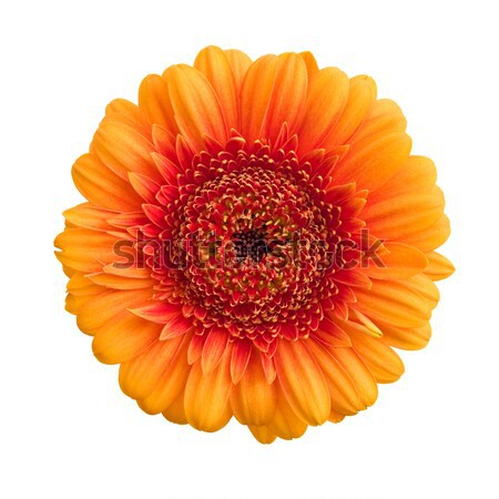 Arancione fiore isolato bianco primavera bellezza Foto d'archivio © froxx