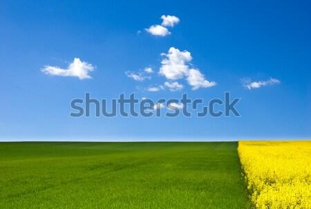 Nemi erőszak tájkép citromsárga mező kék ég felhők Stock fotó © froxx
