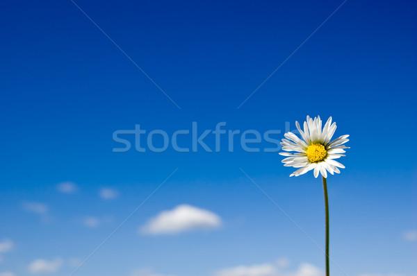 Daisy ciel bleu fleur printemps beauté Photo stock © froxx