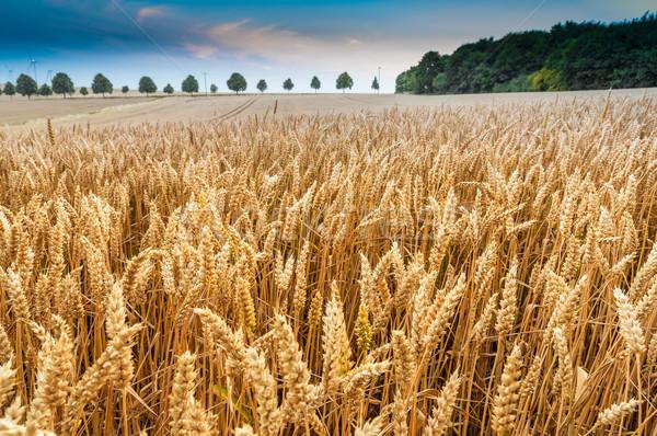 Campo di grano grano orecchie cielo blu nubi sole Foto d'archivio © froxx