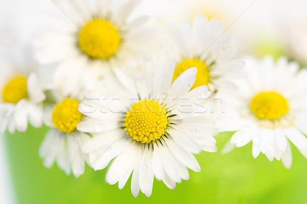 Daisy primer plano vista margaritas primavera belleza Foto stock © froxx