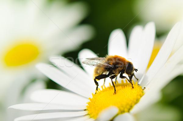 Primo piano ape fiore primavera natura Foto d'archivio © froxx