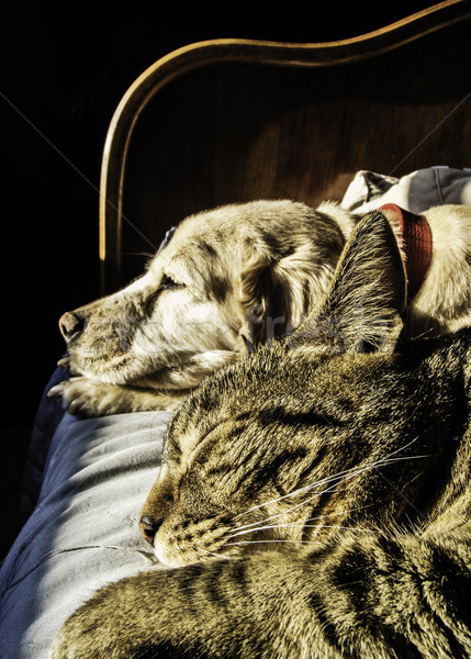 Chien chat sieste portrait Homme Homme Photo stock © fxegs