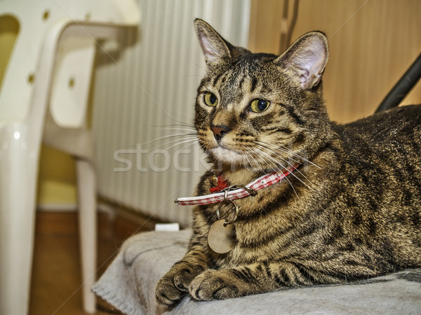 Cat with collar Stock photo © fxegs