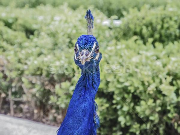 Peacock head Stock photo © fxegs