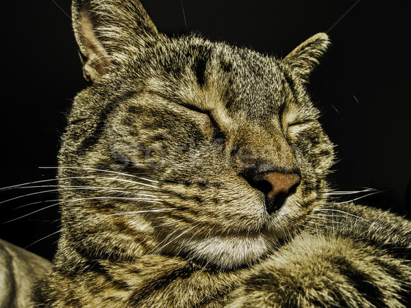 Kedi portre kafa erkek arka plan Stok fotoğraf © fxegs