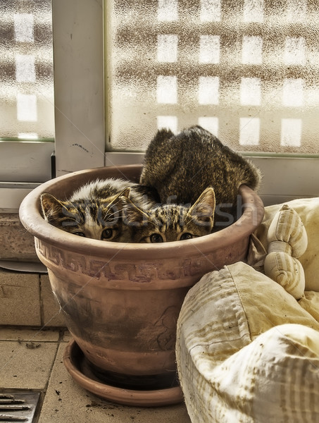 Rejtett kiscicák kettő ijedt bent növény Stock fotó © fxegs
