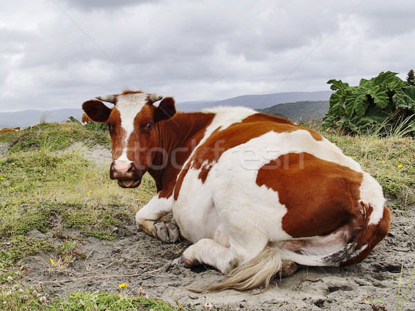 Cow resting Stock photo © fxegs