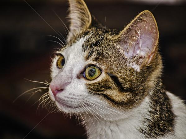Female kitten Stock photo © fxegs