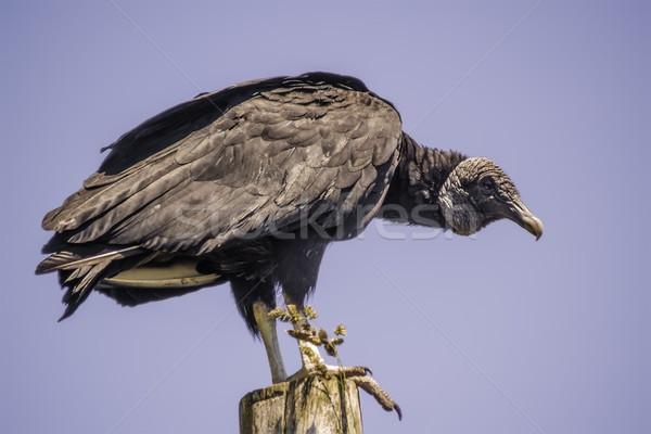 Vulture Stock photo © fxegs