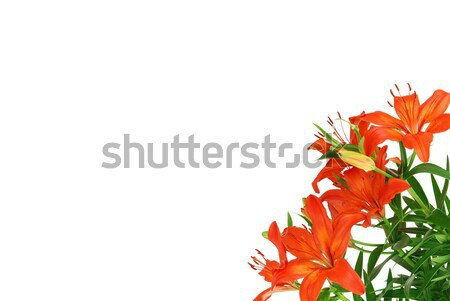 Red lilies Stock photo © fyletto