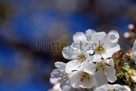 Cereja florescer belo turva árvore céu Foto stock © fyletto