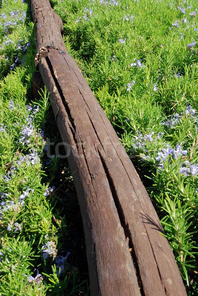 Romarin clôture diagonal herbes fleur arbre Photo stock © fyletto