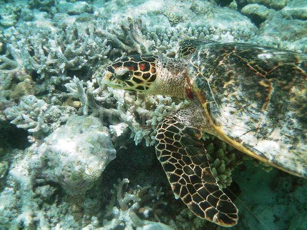 カメ サンゴ礁 海 スイミング 魚 ストックフォト © fyletto