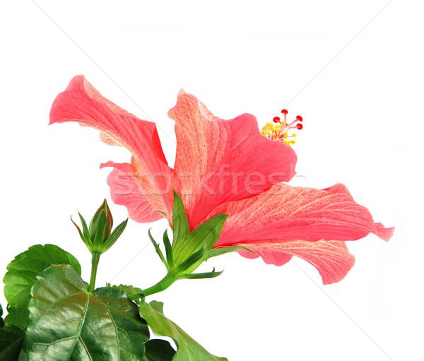 Hibiszkusz gyönyörű fény piros virág levelek Stock fotó © fyletto