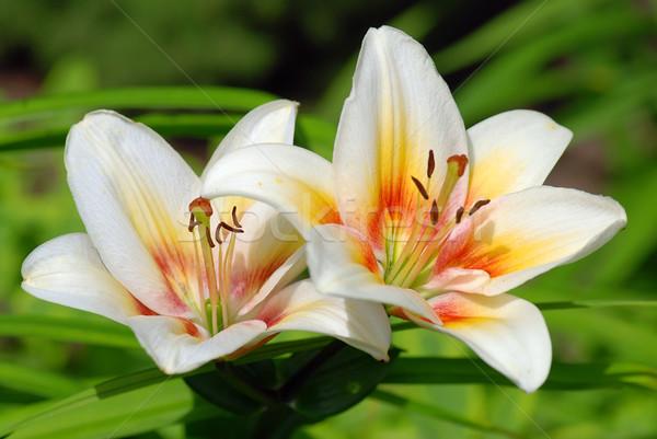 Gyönyörű kert elmosódott levelek hát virág Stock fotó © fyletto