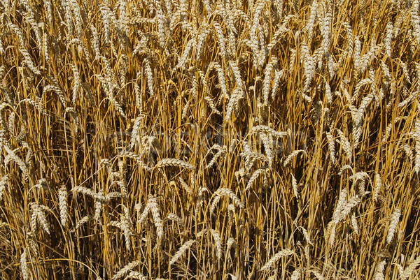 Campo de trigo completo dorado orejas alimentos salud Foto stock © fyletto