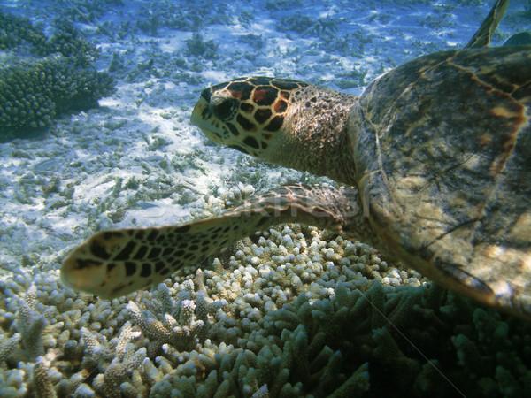 Teknős korallzátony tenger úszik különböző hal Stock fotó © fyletto