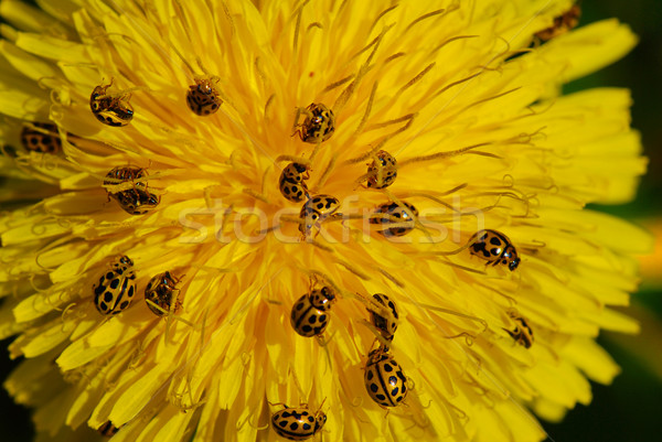 Pitypang kicsi katicabogár bogarak virág tavasz Stock fotó © fyletto