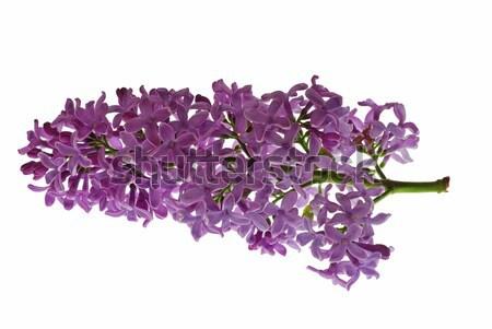 Isolé floraison fleur pourpre Pâques Photo stock © fyletto