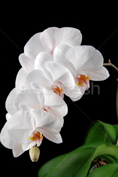 Orquídeas blanco luna hojas verdes negro flor Foto stock © fyletto