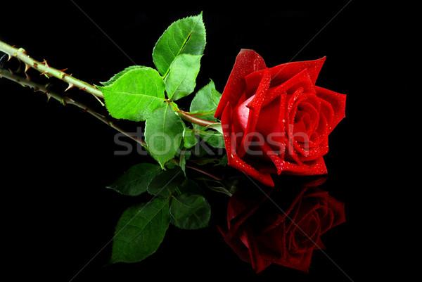 Piros rózsa gyönyörű izolált tükröződő fekete virágok Stock fotó © fyletto