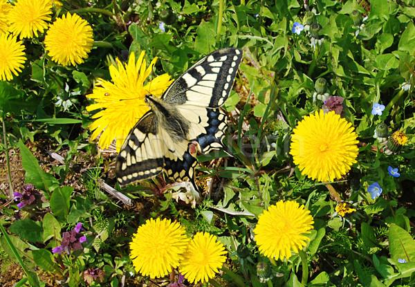 Diente de león hermosa mariposa sesión pradera primavera Foto stock © fyletto
