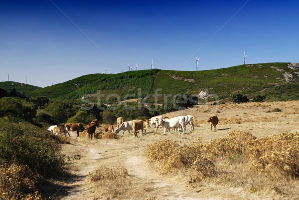 Foto d'archivio: Ecologico · panorama · terra · sani · vacche