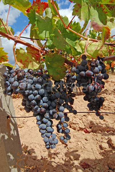 Vineyard with grapes Stock photo © fyletto