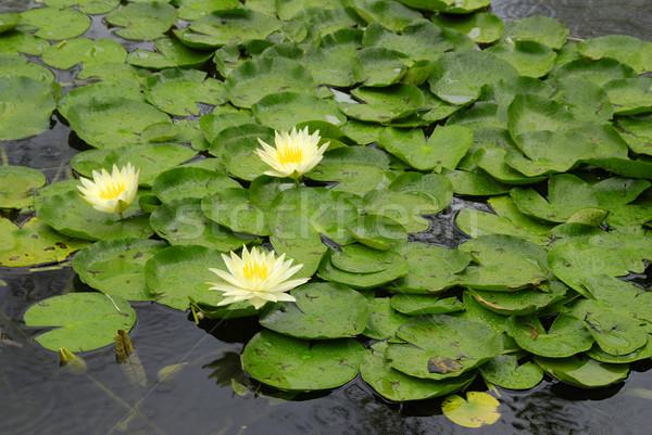 Wody lilie żółty lilia mokro deszcz Zdjęcia stock © fyletto