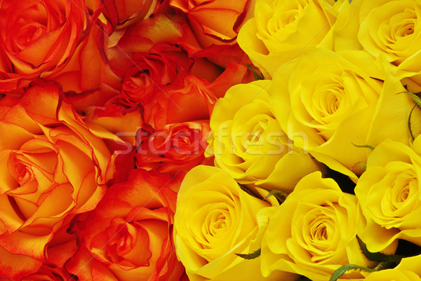 Dos rosas colores naranja amarillo Foto stock © fyletto