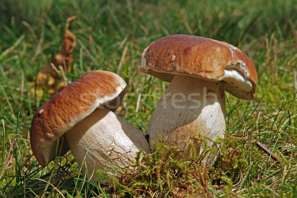 Boletus due selvatico funghi muschio Foto d'archivio © fyletto