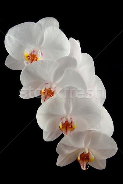 Witte orchidee maan druppels water geïsoleerd Stockfoto © fyletto