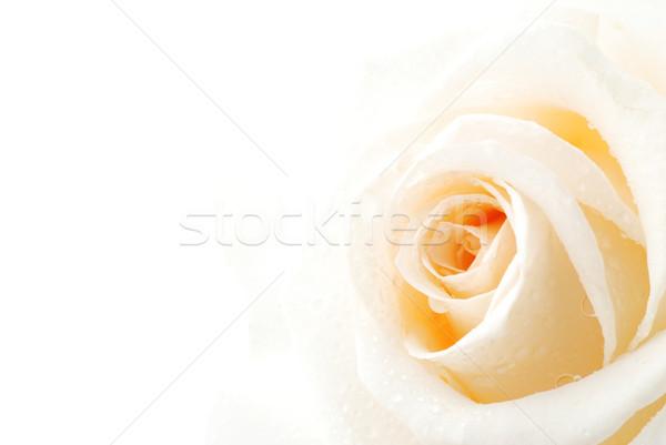 Piękna biały wzrosła krople rosa Zdjęcia stock © fyletto