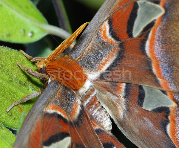 Detail of Attacus Atlas Stock photo © fyletto