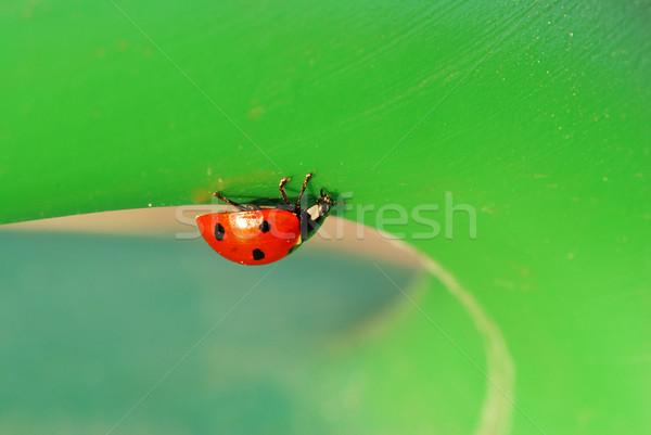Coccinelle façon faible bug feuille verte printemps Photo stock © fyletto