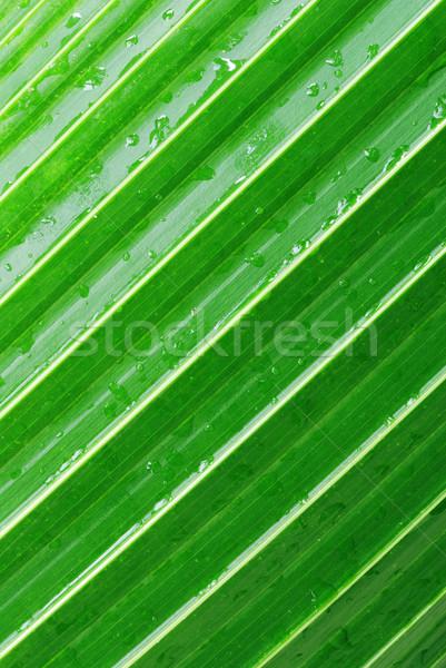 Pálmalevél makró zöld átló minta harmat Stock fotó © fyletto